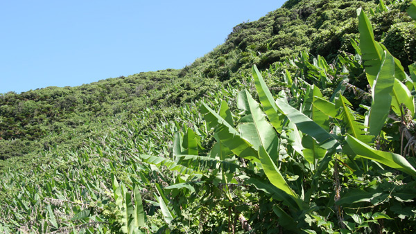 Ito-basho banana plant cluster